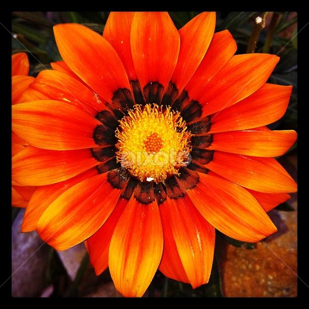 صورة اجمل وردة طبيعية