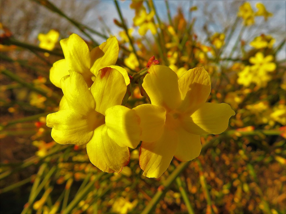 صور ورد ياسمين أصفر