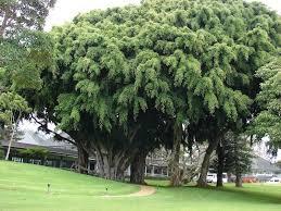 شجرة الفيكس