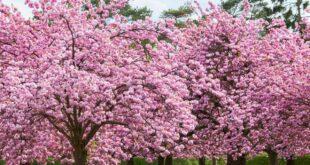 شجرة الساكورا