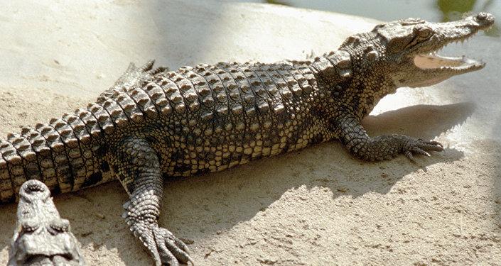 التمساح المكسيكي
