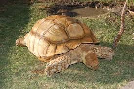 السلاحف البريه