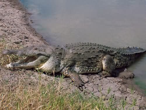 تمساح الاورينوكو