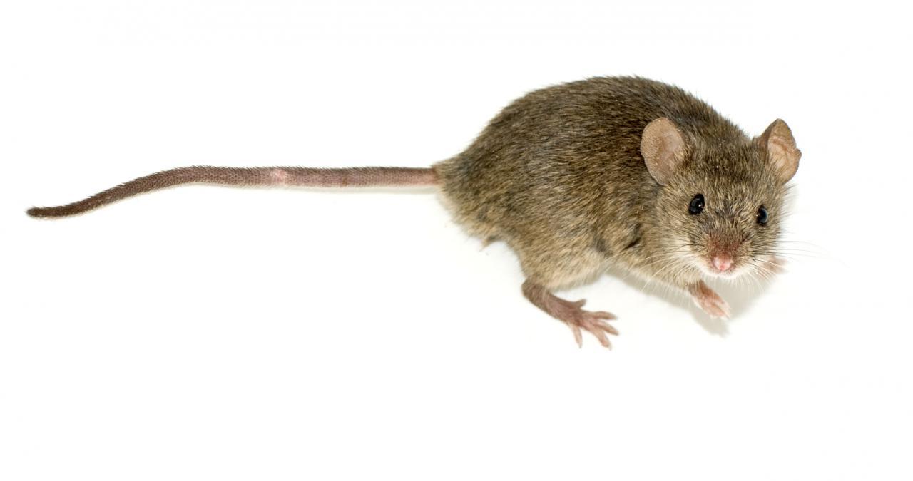 معلومات عن الفأر المنزلي