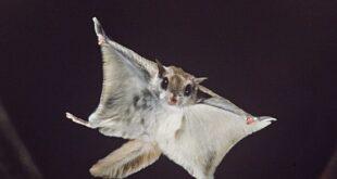 السنجاب الطائر