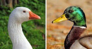 الفرق بين البط والوز أو الإوز مع نبذة مختصرة عن كل نوع - زيادة