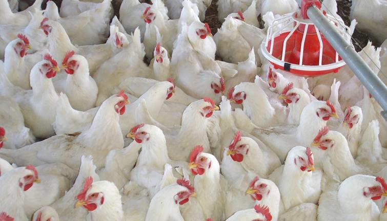 أنواع الدجاج