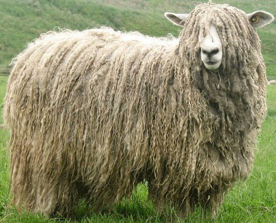 Lincoln Longwool Wool Combed Top - Heritage Breed - 100 grams   Animaux, Mouton, Moutons