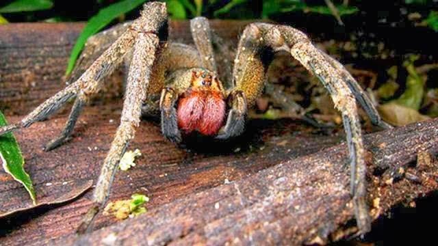 العنكبوت البرازيلي