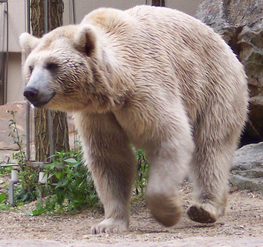 معلومات عن الدب