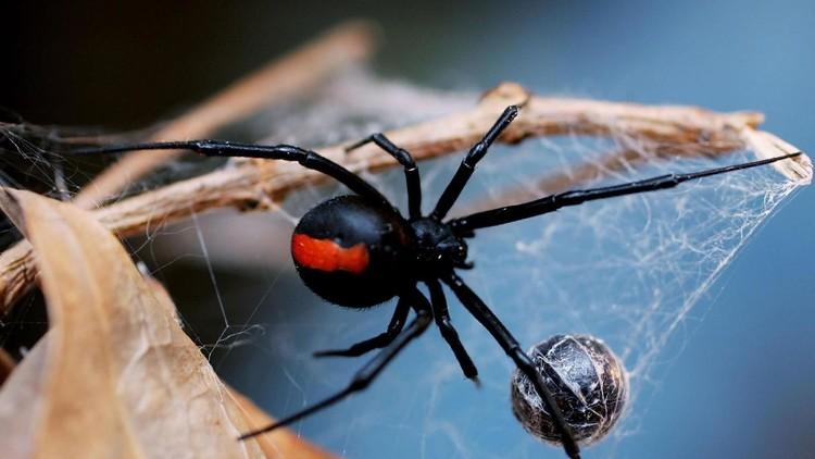 الأرملة السوداء Black Widow