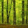 معلومات عن شجرة الزان