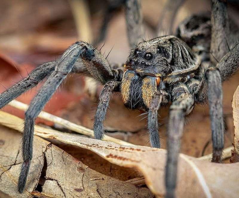 العنكبوت الاسترالي