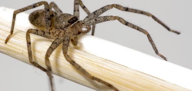 طرق التخلص من العناكب في المنزل