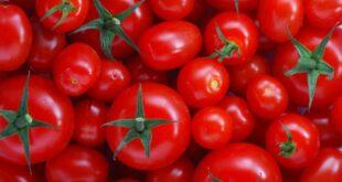 الطماطم وأهم فوائدها وأضرارها