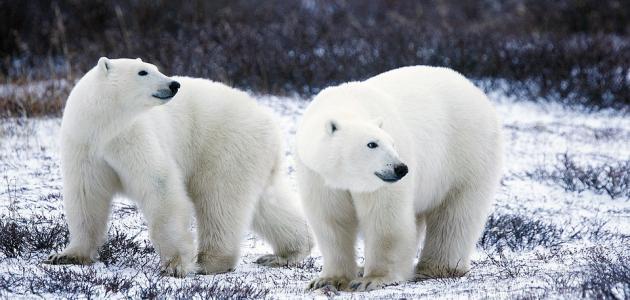 الدب القطبي وأهم المعلومات عنه