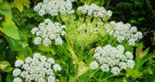 النباتات السامة وأبرز المعلومات عنها
