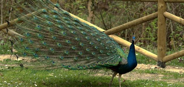 أنواع الطيور الجميلة