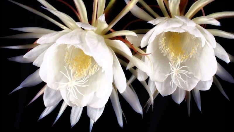 أسماء أغلى الورود - زهرة الكادبول