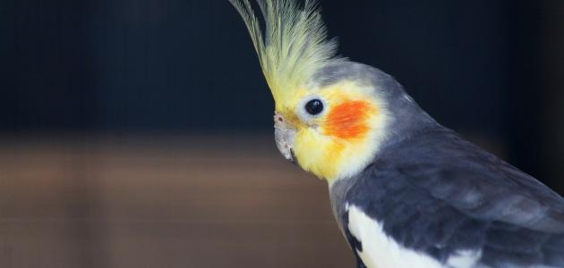 أنواع الطيور المنزلية