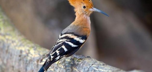 أنواع الطيور في فلسطين